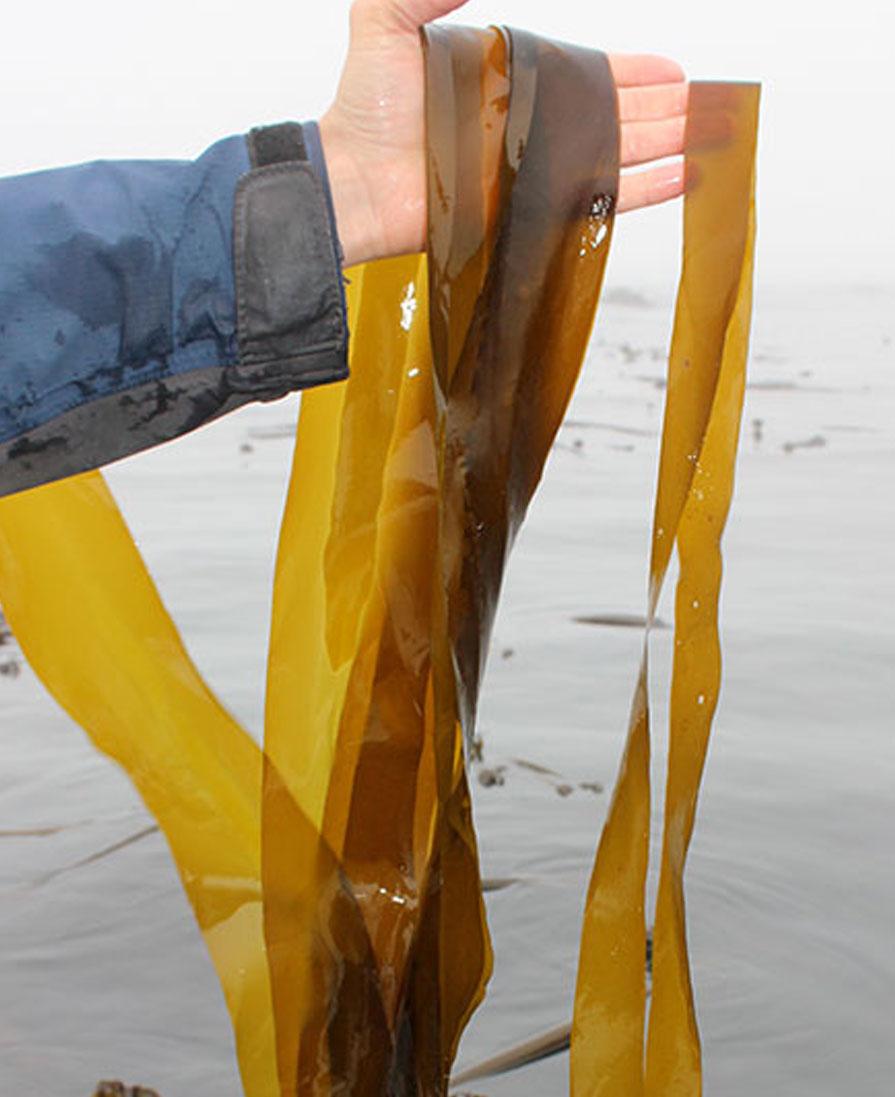 Seaweed Harvest BC Canada
